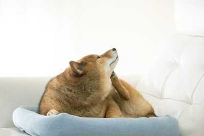 首を掻く柴犬