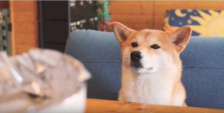 柴犬 ぷんちゃん